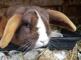 Gentle mini lop doe for adoption.