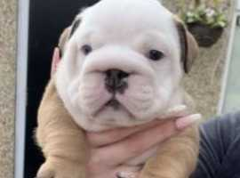 Kc Reg Girls/boy Chunky English Bulldog Pups Health Tested Parents