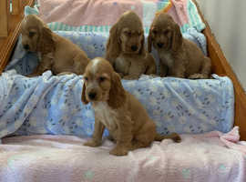 2 kc reg cocker spaniel puppies for sale