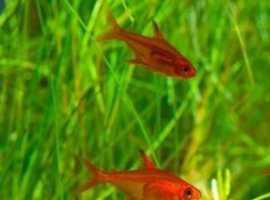 Ember Tetra Tropical fish