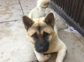 AMERICAN AKITA GORGEOUS MALE  DOB  14/03/18..FOR SALE £100