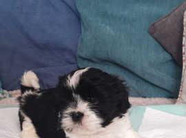 Shih Tzu Cross Llasa Apso puppies