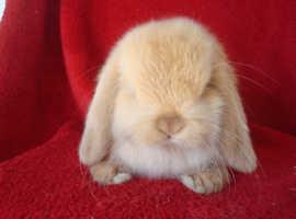 Gorgeous Pure Mini Lop Baby Rabbits