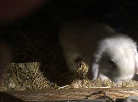 White mini lop