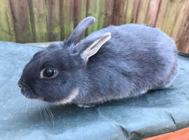 'Buddy' netherland dwarf looking for new home