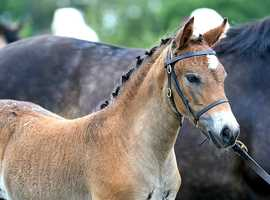 Stunning New Forest Part bred Filly Foal to make 14SHP