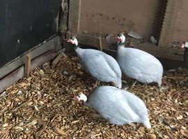 3 lavender guinea fowl cock birds