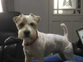 A very smart Parsons Russell Terrier for stud not for sale