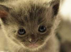 Burmesexragdoll kittens
