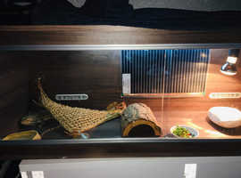 Bearded dragon with 4ft tank