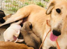 Saluki X greyhound pups