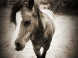 Three lovable Ponies to a good home