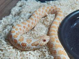 Albino Anaconda Western Hognose Snake