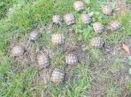 Spur-thighed tortoises