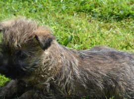 Cairn Terrier Dogs & Puppies For Sale & Rehome in Peterborough