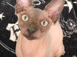 Desirable half Sphynx kittens