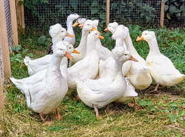 Trio's of Large White Crested Ducks