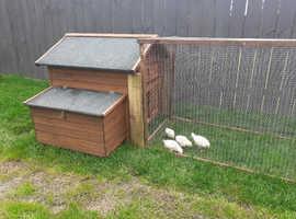 White star chicks + chicken coop