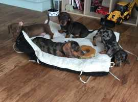 !!Gorgeous Kc Registered Pedigree Miniature Dachshund Puppies Available.