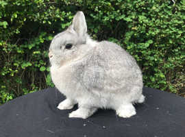 Chinchilla Netherland Dwarf Doe