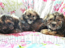 Yorkshire Terrier x Shih Tzu puppies ( Shorkie- Tzu ) Ready Now.