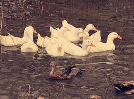 Aylebsury female point of lay ducks for sale