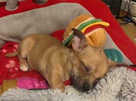 Chihuahua tan puppy
