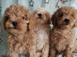 Stunning poodle puppy's