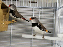 Breeding pairs of Diamond firetail finches for sale. 90 pounds for a pair.