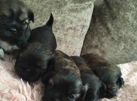 Shihtzu puppies ready 7th sept