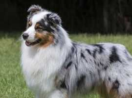 * female  collie or similar wanted *