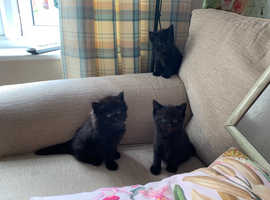 3 kittens for sale to good home ready to go from 4th August.