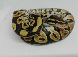 CB19 Russo Het Leucistic Royal Python