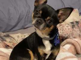 Chihuahua (stud) in Billingham