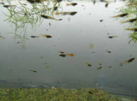 guppies mixed all 5mm and over  healthy home bred