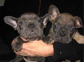 FRENCH BULLDOG GIRLS