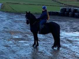 Rising 4 Year old Friesian