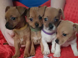 3 x Jackawawa puppies