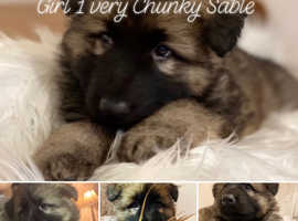 Outstanding Chunky GSD Puppies