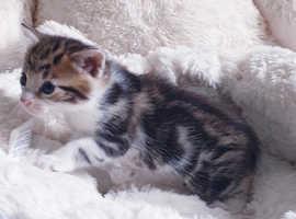 Half Belgian kittens