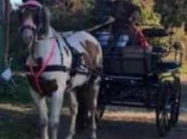 Safe/sensible Ride/drive lightweight veteran gelding