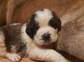 Georgeous Giant Saint Bernard Puppies