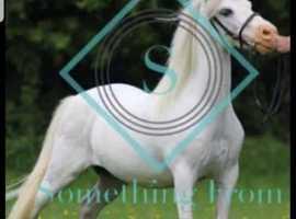 Show pony 11 hands