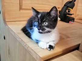 Lovely female kitten with goodies, ready now