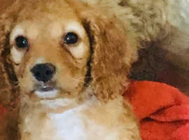 Beautiful cavapoo full heath check