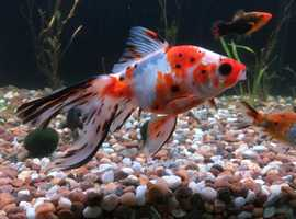 """Calico Fantail Cold Water Goldfish approx 12/13cm / 5"""" long"""