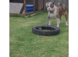Alapaha Blue Blood Bulldog, FOR STUD ONLY.