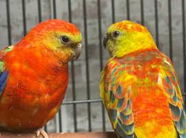 baby red rump parrot