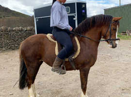 Registered section c riding pony