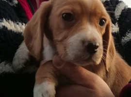 Beagle X Cocker Spaniel Puppies